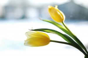 zółte tulipany